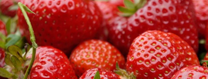 Erdbeeren zum Selbstpflücken